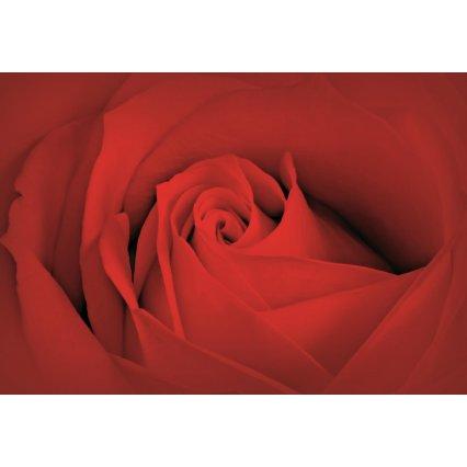Fototapeta Bed Rose Macro