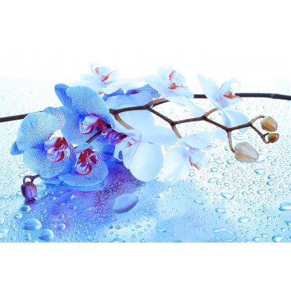 Fototapeta Modrá orchidej